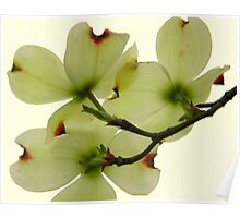 Dogwood Bloom - 5   ^ Poster