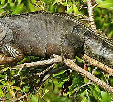 Iguana by Thad Zajdowicz