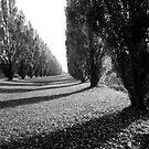 Poplar trees by VanOostrum