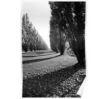 Poplar trees Poster