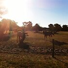 Horses in Bunbury by sarbi