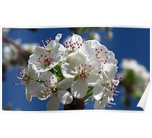 Kentucky Cherry Blossom Bouquet Poster
