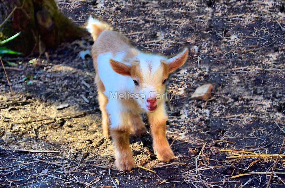 Two Day Old Butterscotch by Melissa Carlini