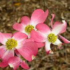 Pink Dogwood by Jay Gross