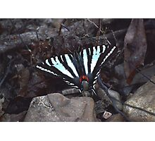 Zebra Butterfly Photographic Print