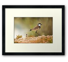 Spur-winged plover (or lapwing, Vanellus spinosus) with chick. Framed Print
