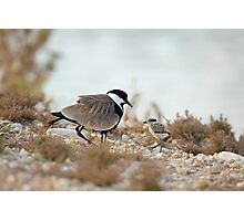 Spur-winged plover (or lapwing, Vanellus spinosus) with chick. Photographic Print