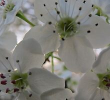 Cherry Blossoms Up Close and Personal by Ron Russell
