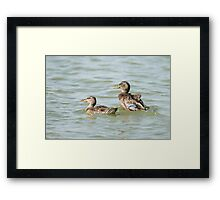 Female Mallard (Anas platyrhynchos) (right) and juvenile swimming in the water.  Framed Print