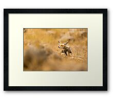 Red Fox (Vulpes vulpes). The Red Fox is the largest of the true foxes, Framed Print