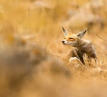 Red Fox (Vulpes vulpes). The Red Fox is the largest of the true foxes, by PhotoStock-Isra