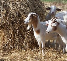 Sterling Road Goats by cchandler