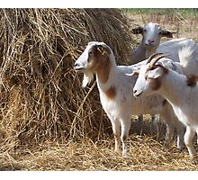 Sterling Road Goats Photographic Print