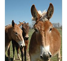 Three Mules Photographic Print