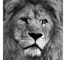 African Lion Photographic Print