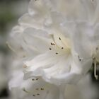 White blossom by Matthew Folley