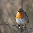 Robin by Matthew Folley