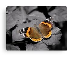 An Old  Red Admiral  Canvas Print