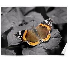 An Old  Red Admiral  Poster