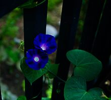 Morning Glory vine by KSKphotography
