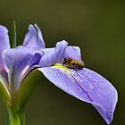 Honey Bee and Iris by Marie Terry
