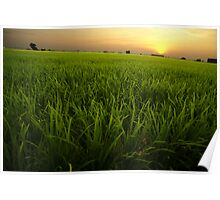 Sunset on the Paddy Field Poster