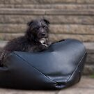 Bailey - Our Patterdale Terrier by Chris Clark