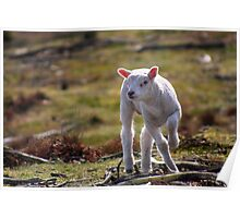 Joy of A Lamb in Spring Poster