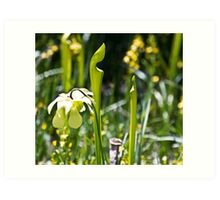 Blooming Pitcher Plant Art Print