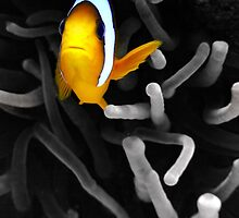 Colourful Clownfish by SerenaB