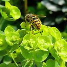 Spring Wasp by Johnathan Bellamy