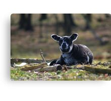 Little Black Sheep Canvas Print