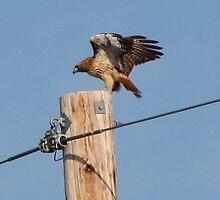 The Landing...Red Tail Hawk by trueblvr
