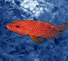 Coral Trout by SerenaB