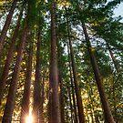 California Redwoods by Eddie Yerkish