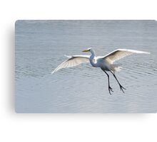 Snowy Egret! Canvas Print