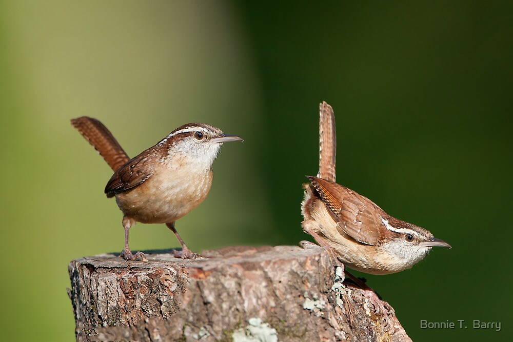 Carolina Wrens, Two for the Price of One! by Bonnie T.  Barry