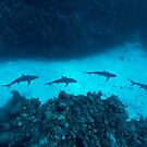 Shark Alley by Norbert Probst