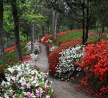 Middleton Place Plantation - Colorful array of Azaleas by photosan