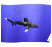Oceanic Whitetip and Pilot Fish Poster