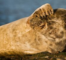 Grey seal (Halichoerus grypus) watching by Gabor Pozsgai