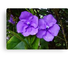 Brunfelsia flower (Yesterday, Today and Tomorrow) Canvas Print