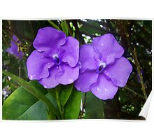 Brunfelsia flower (Yesterday, Today and Tomorrow) Poster