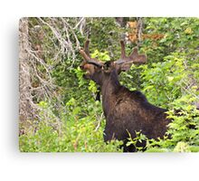 Bull Moose Eating From The Trees  Canvas Print