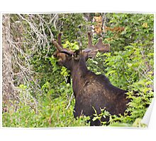 Bull Moose Eating From The Trees  Poster