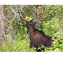 Bull Moose Eating From The Trees  Photographic Print