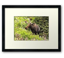 Bull Moose Side Shot  Framed Print