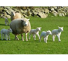 The Noise Of The Lambs Photographic Print