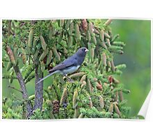 Junco Among the Cones Poster