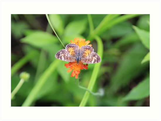 Pearl Crescent Butterfly on Devil's Paintbrush by hummingbirds